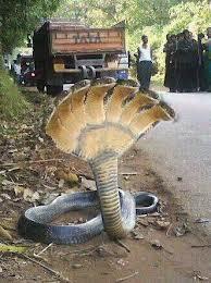 seekor ular berkepala 7 ditemukan di india ular ini mengejutkan banyak orang apakah ular ini benar ada WOW
