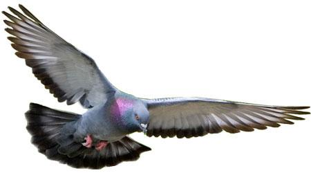 Foto Animasi Burung Merpati
