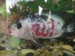 subhanallah ada lafadz Allah di kulit ikan ini , WOW