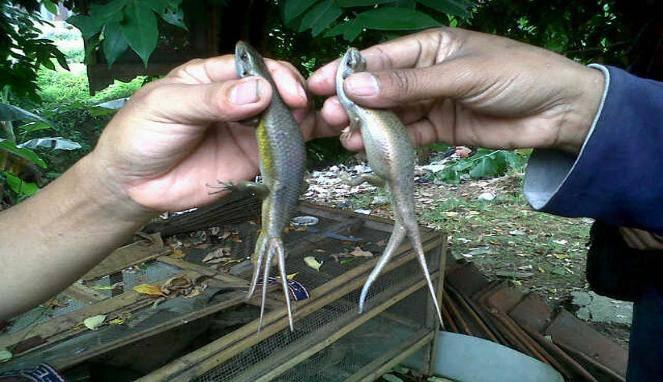 Kadal lazimnya memiliki satu ekor seperti cicak dan tokek. Namun tidak demikian dengan kadal yang ditemukan oleh Abdul Syukur dan Karso, warga Jalan Irigasi Kampung Gunung, Cipondoh, Kota Tangerang. Abdul dan Karso masing-masing menemukan kad