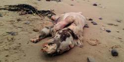 Makhluk Aneh 'Berwajah Kuda, Badan Babi, Bercakar Beruang' Ditemukan di Pantai Wales