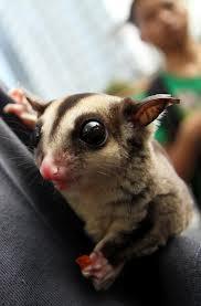 hewan langka yang baru di kenalkan di indonesia sugar glider(petaraus brievecis )hewan ini berada di daerah papua (indonesia) ,australia,dan tazmania hewan ini memakan buah buah manis....wow lucunya...