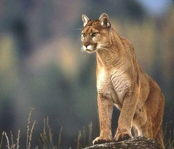 Semua hewan di atas termasuk dalam keluarga/famili felidae (kucing) dan dibedakan ole