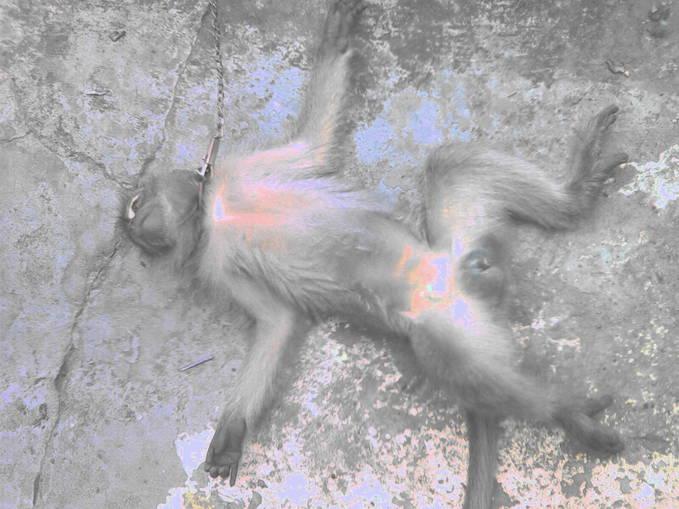 Coba tebak, sedang apa monyetku ini, mati, pingsan, mabok, teler atau tidur?