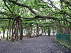 Pohon Agung Banyan, Kolkatta, India
