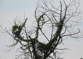 SUBHANALLAH ... pohon ini berbentuk lafadz ALLAH SWT .. wah ...