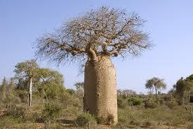 Tau Gak Sih? Pohon Baobab adalah pohon yang paling tahan kekeringan. Pohon ini menyimpan 1.358.600 liter air dalam batangnya untuk dipergunakan kelak.