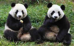 Harga Teh Kotoran Panda Rp. 315 juta ??