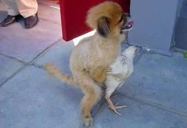 anjing ini melakukan pelecehan kepada seekor ayam. wow nya jngan lupa ya say .