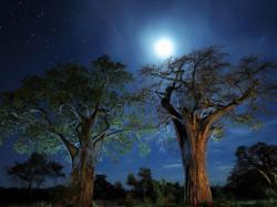 Pohon Baobab, Tanzania