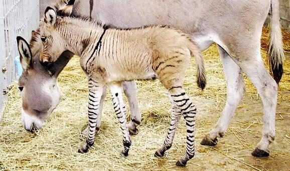 Zebroid mengacu pada setiap hibrida zebra dan spesies kuda; campuran gen ini pertama terjadi di awal abad 19.Tergantung pada campuran hewan, ia memiliki nama yang berbeda, zebra betina dan seekor keledai jantan, anaknya disebutzebrinny,