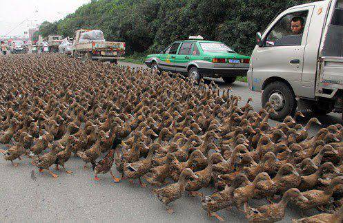 Ini di Banjarmasin Ribuan Bebek sedang demo ini :D