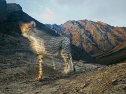 Cheetah di Ujung tanduk