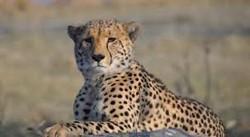 Fakta Menarik Tentang Cheetah
