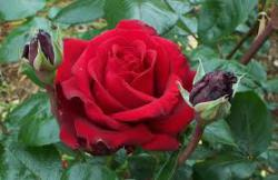 Bunga Potong Tetap Indah dan Segar