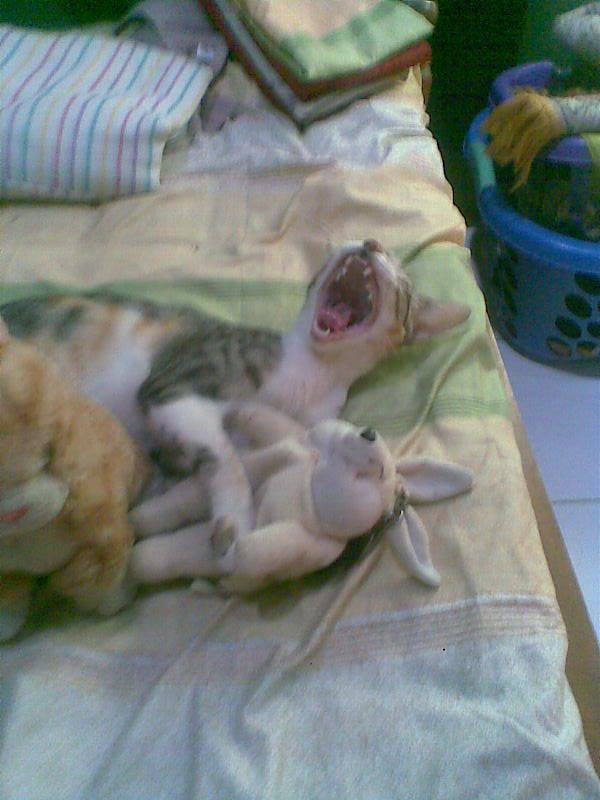 Coba tebak kucing ini lagi ngapa hayoo....? Kog buka mulutnya lebar banget