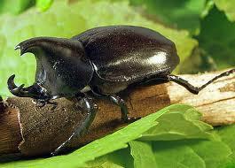 Hewan terkuat di dunia adalah Kumbang Badak karena dapat mengangkat lebih dari 1141 kali berat tubuhnya.. Wow nya dong...