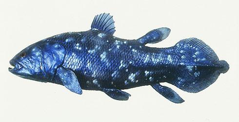 inilah ikan yg sudah diperkirakan punah sjak akhir masa Cretaceous 65 juta tahun yg lalu, sampai sebuah spesimen ditemukan di timur Afrika Selatan, di sungai Chalumna (1938), Coelacanth. Sejak itu Coelacanth ditemukan di Komoro,Manado,Kenya,dll