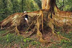 Amazing tree in Costa Rica