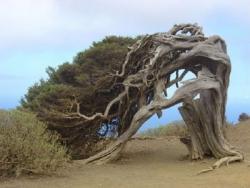 Pohon El Arbol de La Sabina
