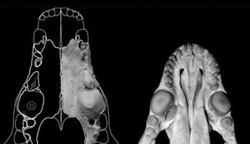 """Setelah meneliti ribuan ekor hewan mamalia dan fosil-fosilnya, untuk memetakan ciri fisik dan genetik dalam upaya mencari silsilahnya, tim peneliti di Amerika Serikat menemukan bahwa leluhur hewan mamalia adalah makhluk kecil berbulu pemakan serangga. Para peneliti menyimpulkan bahwa ibu dari semua mamalia – kecuali mamalia marsupial (kanguru dan koala) serta beberapa yang bertelur – adalah makhluk berkaki empat, yang beratnya kurang dari setengah pon atau 200 gram. Seperti diberitakan harian Telegraph, selama beberapa tahun telah terjadi perdebatan mengenai dari mana asal hewan mamalia. Awalnya ada beberapa penelitian DNA pada tahun 1990 yang dilakukan untuk mengetahui apakah mamalia ini mulai berevolusi pada zaman dinosaurus. Namun, berdasarkan penelitian dari fosil-fosil mamalia menunjukkan bahwa evolusi hewan mamalia terjadi ketika dinosaurus dan reptil-reptil besar mulai punah. Kepunahan itu yang memberikan peluang bagi mamalia untuk beradaptasi dan berkembang menjadi spesies baru. Menurut Dr Jonathan Bloch, pemimpin penelitian dari Florida Museum of Natural History, temuan terbaru ini menggunakan dua cara, yaitu dengan meneliti data DNA dan data fosil-fosil. """"Kami memperkirakan nenek moyang mamalia berasal dari 65 juta tahun yang lalu, 200.000 tahun setelah terjadi kepunahan massal,"""" kata Bloch, dilansir Telegraph, 7 Februari 2013. Ia menjelaskan bahwa temuan ini telah memunculkan pandangan baru tentang sebuah perubahan besar yang bisa mempengaruhi sejarah kehidupan. """"Kepunahan dinosaurus yang telah memberi kesempatan binatang mamalia berkembang menjadi spesies baru,"""" ucap Bloch. Penemuan ini adalah peristiwa besar dalam sejarah bumi yang berpotensi menemukan kembali silsilah lebih detail dari semua jenis mamalia. """"Temuan ini juga bisa menjadi rujukan untuk mencari siapa sebenarnya nenek moyang dari manusia,"""" kata Dr John Wible, dari Carnegie Museum of Natural History. Ia menambahkan, penelitian dilakukan dengan melihat semua aspek anatomi pada mamalia, dari t"""