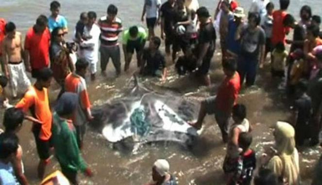 Ikan Raksasa di Pantai Selatan Tertangkap Nelayan Pantai Baron, Kabupaten Gunungkidul, Yogyakarta, berhasil menangkap ikan pari raksasa berbobot 800 kilogram, Sabtu 6 April 2013. Ikan yang memiliki panjang 8 meter dan lebar 2 meter ini menjadi