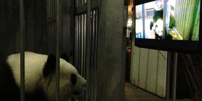 Tak Mau Kawin, Panda Disuguhi Film Porno
