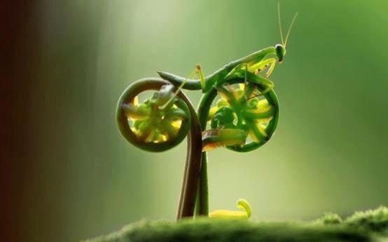 Foto belalang unik mirip Belalang tempurnya Satria Baja Hitam
