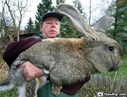 Kelinci terbesar di dunia. WOWWWW