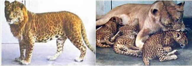 Leopon(kiri) adalah hasil persilangan antara Macan tutul jantan(Leopard) dengan singa betina(Lion)... Jangan Lupa WOWnya ya gan :D