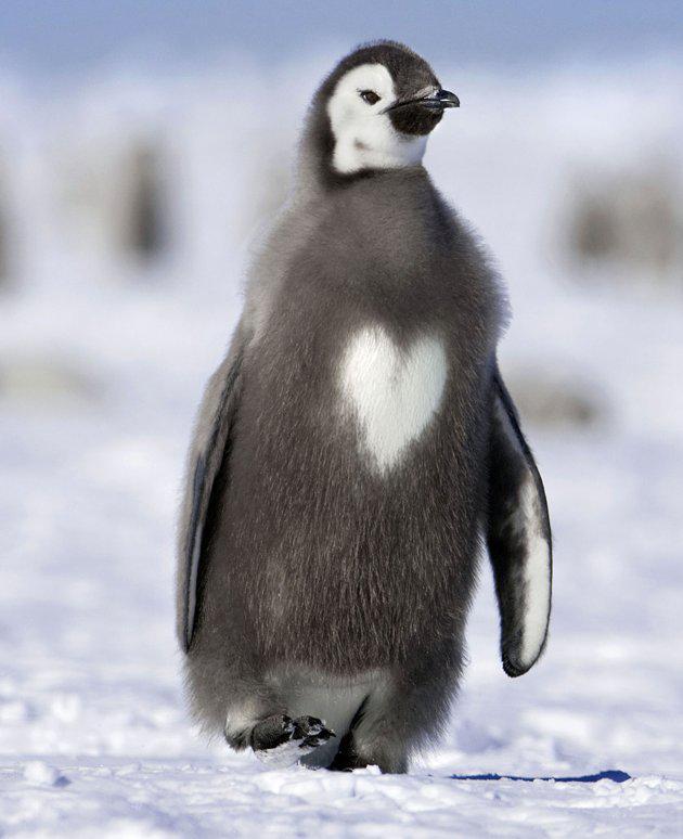 seekor penguin memiliki tanda bulu dengan membentuk hati