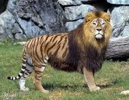 ini yg disebut sincan atau liger(lion tiger)