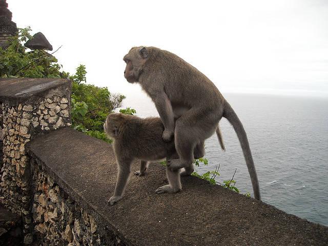 Monyet Kawin .. !!! kayak Naik Kuda . wow .. nya Heyy !!