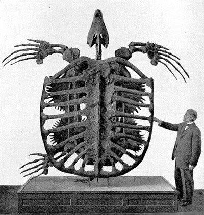 Archelon adalah spesies penyu laut terbesar yang pernah ditemukan. Ini hidup selama waktu ketika sebagian besar Amerika Utara ditutupi oleh laut dangkal, sekitar 75-65jt tahun yang lalu.