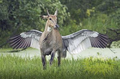 Kebetulan di belakang rusa ini ada yang sedang mengepakkan sayapnya. Lalu jepreeet! Seolah-olah kita melihat keturunan Unicorn ?
