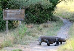 Panji sang penakluk tewas di makan Komodo