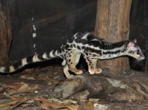 Musang Congkok (latin : Prionodon Linsang) Dengan berat mencapai 5 kg dan mempunyai panjang sekitar 71 cm hewan ini cukup gesit untuk memanjat pepohonan. Di temukan di wilayah pegunungan Aceh dan Sumatera Barat. Mamalia kecil dan beberapa jenis
