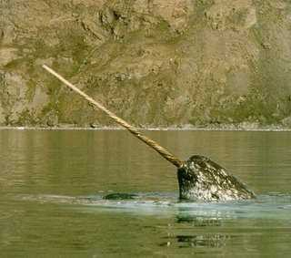 Hewan ini sangat jarang terlihat. Narwhal berarti paus mayat; dinamakan demikian karena warna kulitnya yang kebiruan dan bernoda kotor. Hewan ini sangat mirip dengan Unicorn dan memiliki 2 gigi atas. Gigi ini akan tumbuh hingga 7-10 kaki, namun