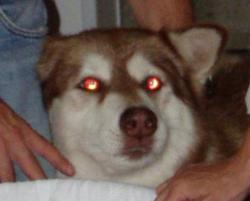SERAM> Mata anjing ini berwarna MERAH..wownya gan kalau kalian lihat anjing ini apa yg kalian lakukan? 1. lari jingkrak-jingkrak 2. biasa aja 3. di tangkap untuk dipelihara 4. di bunuh o.O ?????