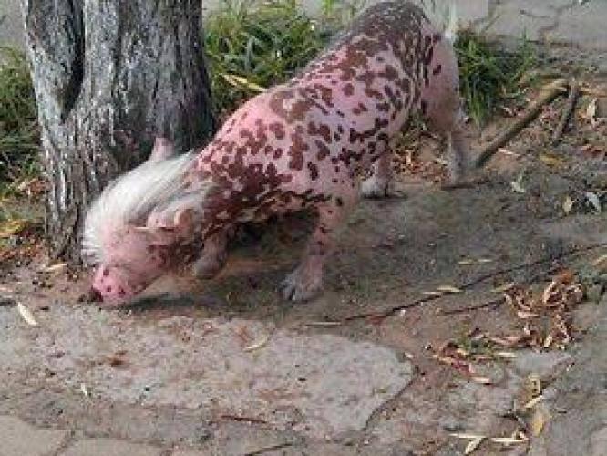 Hewan Aneh Berambut Mohawk Bikin Takut WargaWarga Xinxiang, Provinci Henan, China, dibuat ketakutan dengan kehadiran seekor hewan aneh dengan gaya rambut mohawk. Kulit merah muda dengan totol coklat, membuat hewan ini semakin aneh