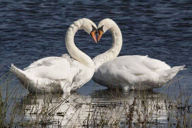 wow ada angsa membuat love