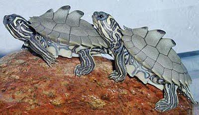Kura-kura yang disebut Black-knobbed Map .WOW nya