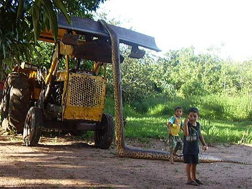 anaconda adalah boa air, nama untuk seekor ular yang hampir selalu ditemukan di dekat air. Mereka hidup di Amazon dan cekungan Orinoco Amerika Selatan tropis, dan habitatnya membentang dari Andes, menuju timur ke Trinidad dan juga ke sisi Kiri
