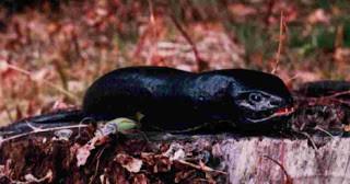 hewan misterius (part 3) Tsuchinoko Spesies ular yang amat langka dan aneh, berperut gendut mirip botol atau pin boling dengan ekor yang kecil mirip ekor tikus. Pernah dilihat di Hokaido, Jepang