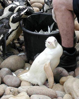 Penguin Albino merupakan satu-satunya dari jutaan Penguin Afrika yang ditetaskan di Kebun Binatang Bristol pada tahun 2002. Penguin Albino yang diberi nama Snowdrop ini adalah satu satunya penguin yg albino / berwarna putih