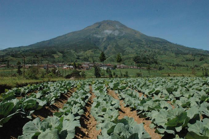 Ladang syur kol uang terletak di lereng Gunung Sumbing, Kledung Kab. Temanggung Jawa Tengah