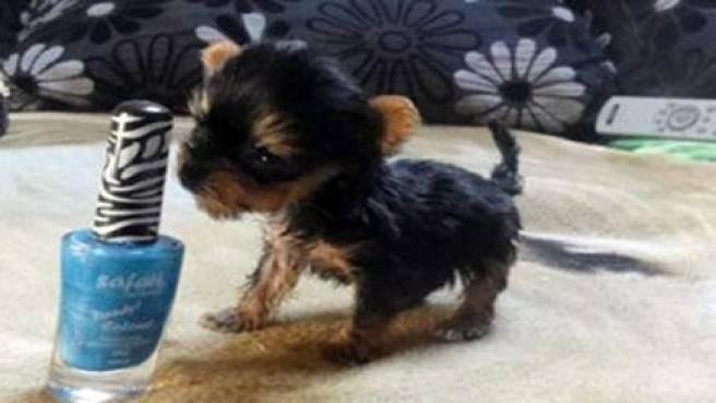 Suni, (Calon) Anjing Terkecil di Dunia, Badannya Setinggi Botol Cat Kuku!