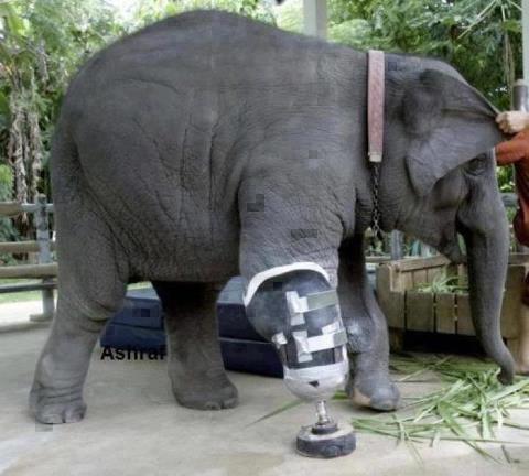 kaki gajah ini diamputasi , gimana nasibnya ya ? minta wownya dong