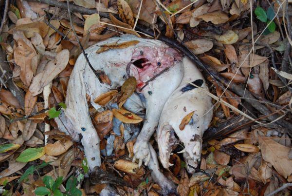 Gile lu ndro ! bangkai hewan aneh baru di temukan, di hutan pedalaman Wendover Woods, Buckinghamshire, Inggris ! wow