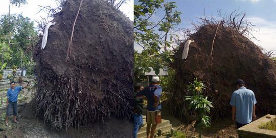 Sebuah pohon besar yang berada di tengah makam roboh dan tercabut dari akarnya. Pohon tersebut berada di tengah makam umum di Dusun Joho, Desa Sumberejo, Kecamatan Ngasem, Kabupaten Kediri, Jawa Timur. Akibat robohnya pohon bulu ini, puluhan
